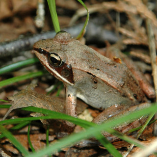 A frog among twigs and grass