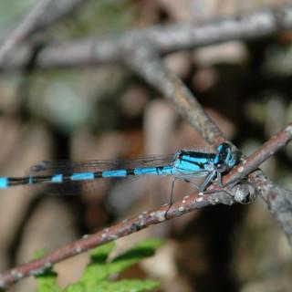 A blue dragonfly on a twig
