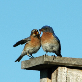 Two birds eating a worm