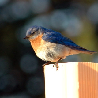 A bluebird on a post